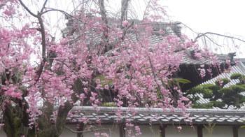 H29.4.7盛福寺・枝垂れ桜①.JPG