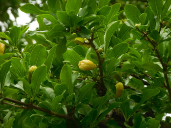 H29.5 石榴の花(宝珠院)①.JPG