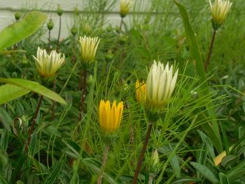 H29.5 散歩の花④.JPG