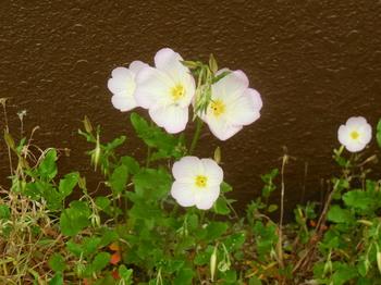 H29.5 散歩の花⑤.JPG