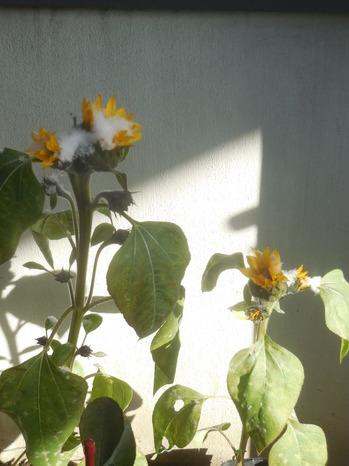 H30.1.26庭のヒマワリ.JPG
