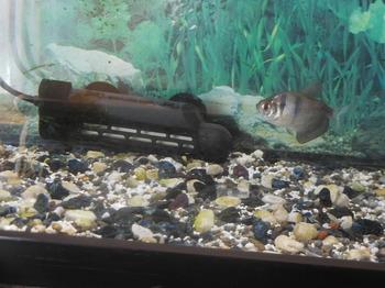 H30.2一匹となった熱帯魚.JPG