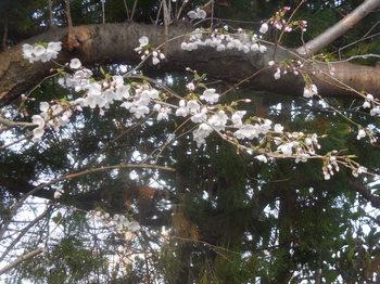 H30.3宝珠院・桜1.JPG