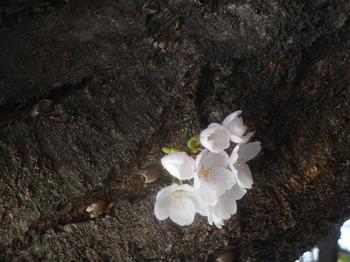 H30.3宝珠院・桜3.JPG