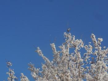 H30.3.24宝珠院。淡墨桜&鳥&飛行機.JPG